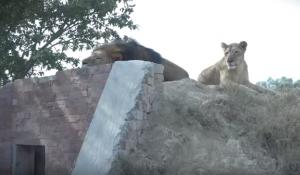 Lions at Rana Safari Park